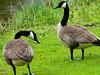 Canadian brent goose