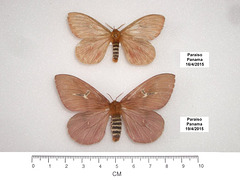 P014R Cerodirphia sp. (Spread Specimens)