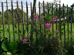 La vieille clôture / The old fence