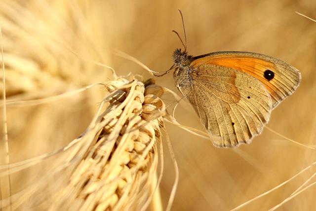 dans les blés...