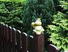 Frosch am Freitag: Heute als Zaunkönig. Happy Fence Friday!
