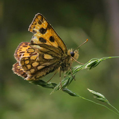 northern chequered skipper (pip)
