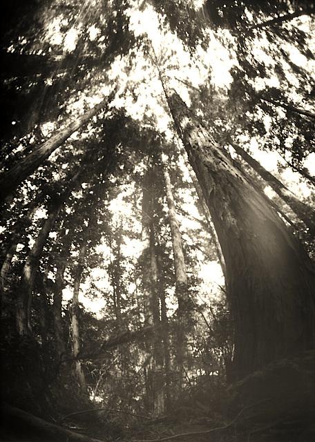 Sonoma Mt Redwoods