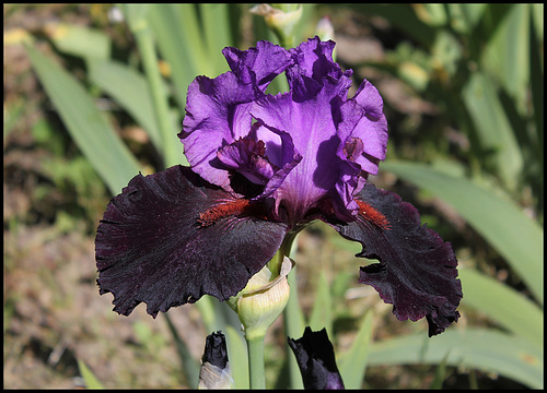 Iris Romantic Evening