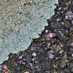 Lichen sur béton , Lecanora muralis