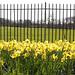 Daffodil - HFF!