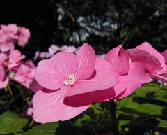 L'envol rose