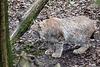 20160303 0165VRAw [D~BI] Eurasischer Luchs (Felis lynx), Bielefeld