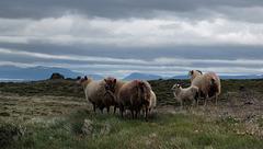 Borgarvirki, Icelandic Lambs