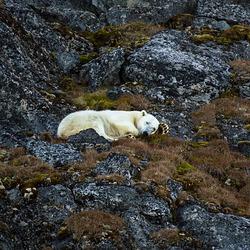 Ours polaire dormant d'un oeil...