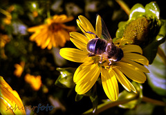 Blütenbestäubung