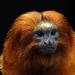 Un tamarin-lion doré qui se la pète grave avec sa crinière .