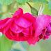 high key for 2 roses