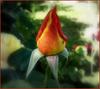 Fête de la Rose ce jour .....♥