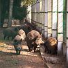 Die Wildschweine im Białowieża-Urwald