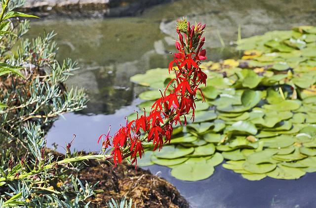 Cardinal Flower – Alpine Garden, Botanical Garden, Montréal, Québec