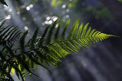 Verte fougère en sous-bois