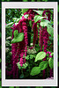 Love-lies-bleeding...Amaranthus Caudatus