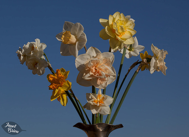 110/366: Dazzling Daffodil Display