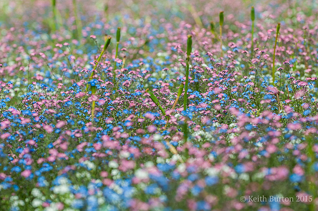 Clouds of flowers