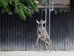 Zebra startet durch II (Zoo Karlsruhe)