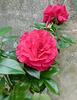 Des roses toujours des roses !