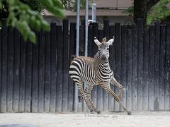 Zebra startet durch I (Zoo Karlsruhe)