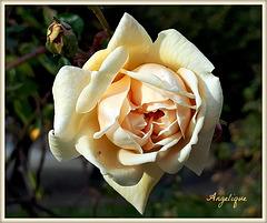 Rose de Novembre !