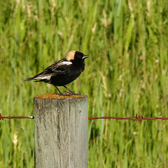 It's the Bobolink again