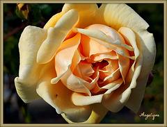 Rose de Novembre ......encore trop belle ♥