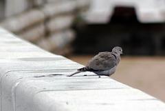 Rola-turca (Streptopelia decaocto), Portugal