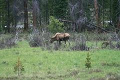 Mama moose & calf