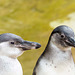 Penguin pair