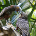 Couple de Perroquets - Kaka-Parrots