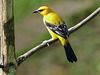 Yellow Oriole, Asa Wright, Trinidad