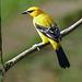 Yellow Oriole, Asa Wright, Trinidad