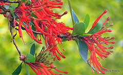 Waratah Alloxyl