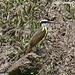 48 Great Kiskadee (Pitangus sulphuratus)