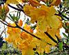 Yellow Azaleas
