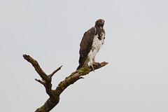 Uganda, Queen Elizabeth National Park, The Martial Eagle
