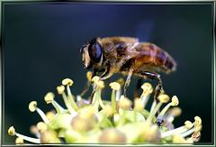 Italienische Schwebfliege an Efeublüte. ©UdoSm