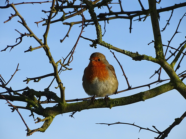 Christmas day walk.  Robin: Erithacus rubecula