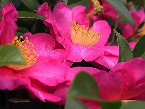 Dans le langage des fleurs, le camélia symbolise la longévité, la fidélité et le bonheur