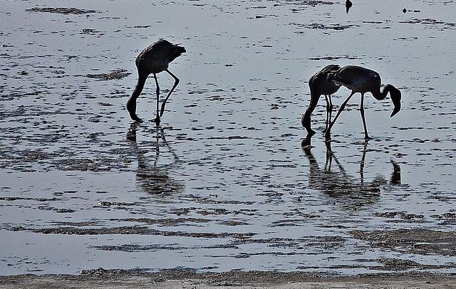 Flamingos on the muddy saltflat