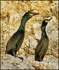 The European shag or common shag (Phalacrocorax aristotelis)