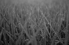 Morning dew on rice plant