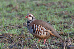Perdiz-comum / Red-legged partridge (Alectoris rufa)
