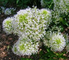 Touffe de trachélie (Trachelium caeruleum)