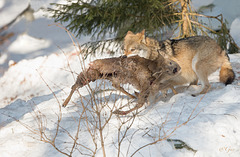 IMG 7469 Loup
