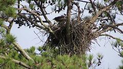 Bald eagles exchanging duties